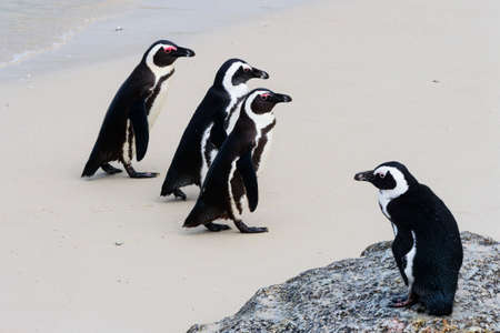 Three endangered African or Cape Penguins walk up Boulders Beach while another looks on from a rock.