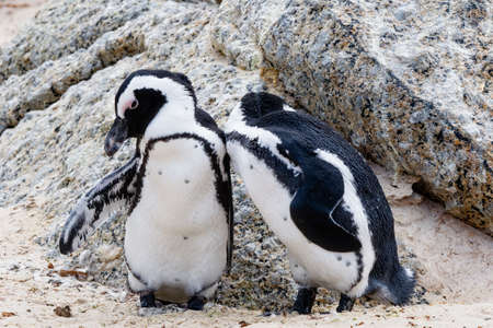 Close up of two South African penguins standing together preening