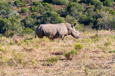 African Black Rhinocerous standing in long grass staring straight ahead
