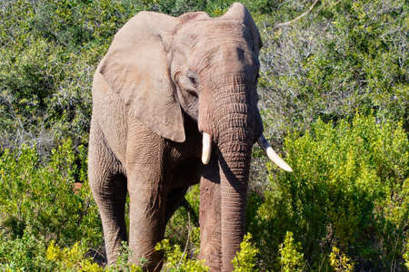 Close up of an African Elephant walking through the bush towards the camera. Western Cape, South Africa Archivio Fotografico