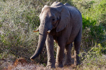 African Elephant standing in among Sweet Thorn and bushes. Close up image Archivio Fotografico