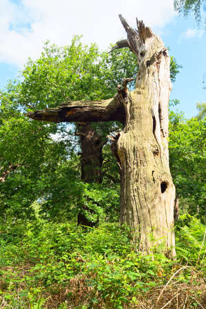 A bare trunk with a broken branch is all that remains of a once mighty Sherwood Forest oak tree.