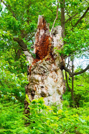The decaying remains of one of Sherwood Forests mighty oak trees in dense undergrowth. 版權商用圖片