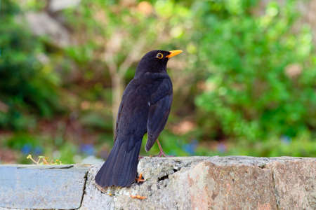 Close up of a male Blackbird sitting on a wall looking towards the right. 版權商用圖片