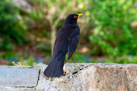 Close up of a male Blackbird standing on a wall looking up and right. 版權商用圖片