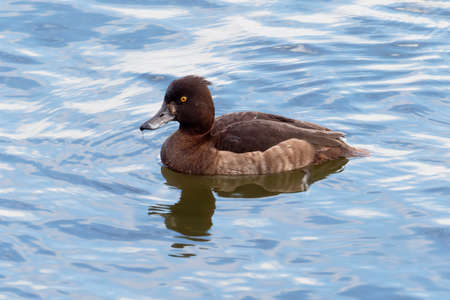 Close up of a female tufted duck swimming from right to left.