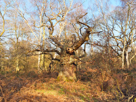 The remains of a once proud ancient Oak tree stands in Sherwood Forest.