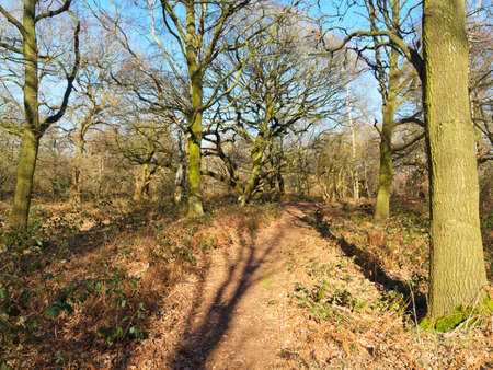 Tall bare trees cast long shadows over a footpath in Sherwood Forest. In the distance a child plays near a tree. 免版税图像