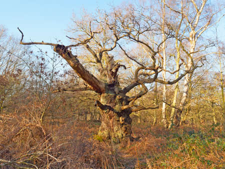 In a clearing in Sherwood Forest under a blue winter sky stands a bare ancient Oak tree