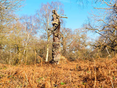 In a clearing in Sherwood Forest the remains of an ancient Oak tree stands like some strange creature