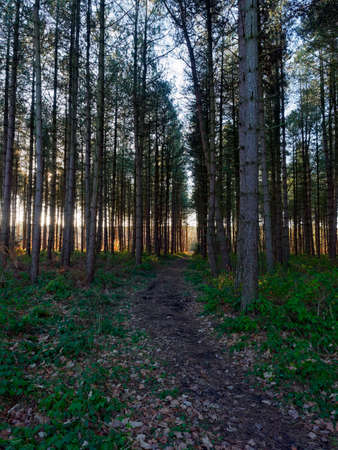 Rows of tall thin fir trees line a straight woodland path as the low winter sun shines between the trees