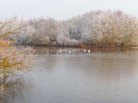 Ducks, swans and geese swim on a part feozen lake that is bordered by bare frost covered trees on a cold and misty winter morning. 免版税图像