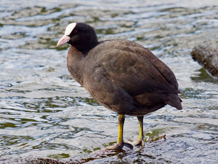 A male Coot standing in shallow water looking to the left. Close up image 免版税图像