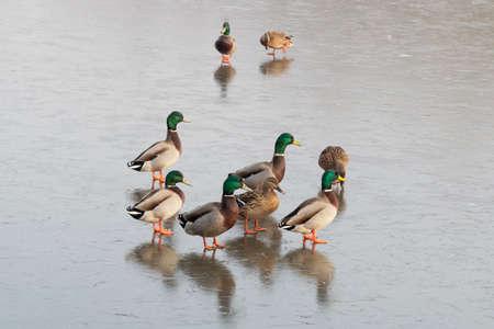 A small group of male and female Mallard ducks standing on the frozen surface of a lake 免版税图像