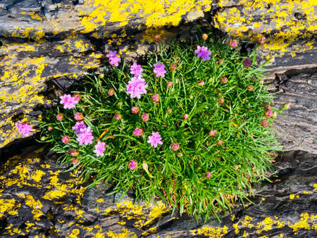 Small group of pink Sea Thrift wildflowers growing on lichen covered slate rock in an estuary near Porthmadog, Wales