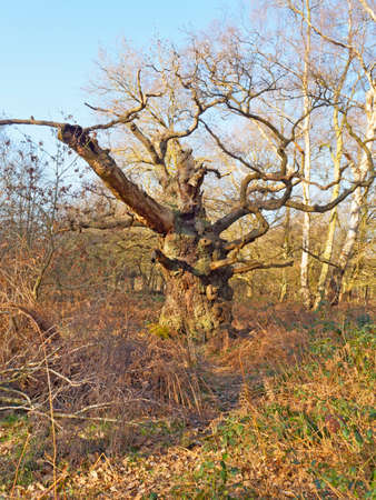 One of the ancient Oak trees in Sherwood Forest stands bare under a blue winter sky.