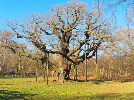 In the heart of Sherwood Forest the Major Oak stands bare under a blue winter sky 免版税图像