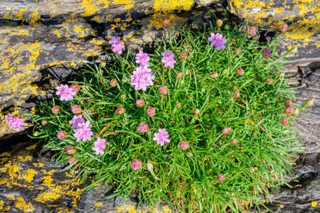 Group of pink Sea Thrift wildflowers growing on lichen covered  slate rock near Porthmadog, Wales Stockfoto