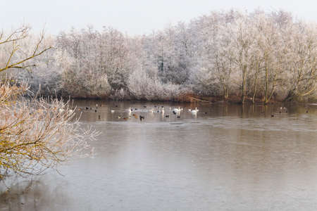 Swans, Mallards, Coots, seagulls and other birds on a partially frozen lake surrounded by frost covered trees 免版税图像