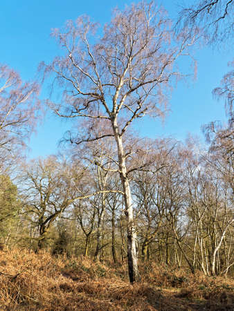 On a bright sunny late winter day in Sherwood Forest stands a tall, bare, Silver Birch.