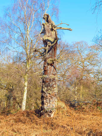 The remains of a once proud Oak Tree stands in Sherwood Forest like a strange creature 版權商用圖片