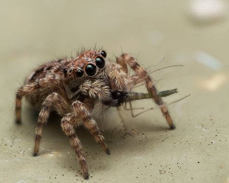 Small jumping spider looks up while eating bug.