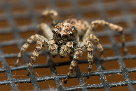 Jumping spider with big reflective eyes on window screen Banco de Imagens