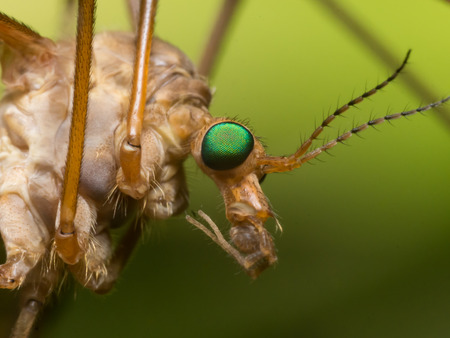 crane fly: Crane Fly Mosquito Hawk with bright green eyes close up profile view