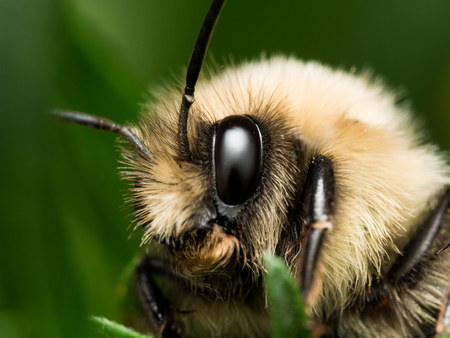 bumble bee: bumble bee with bright golden fur close up portrait Stock Photo