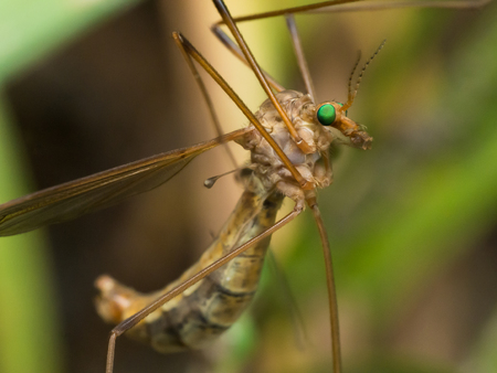 Crane Fly (Mosquito Hawk) with bright green eyes close up profile view