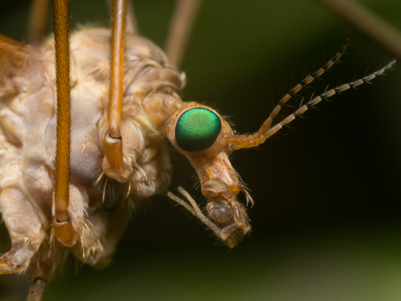 crane fly: Crane Fly (Mosquito Hawk) with bright green eyes close up profile view