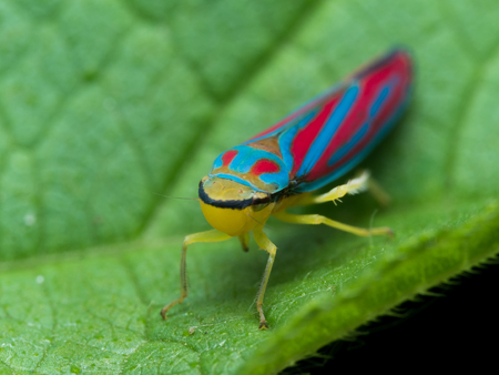 hopper: Bright red and blue  leaf hopper on green leaf