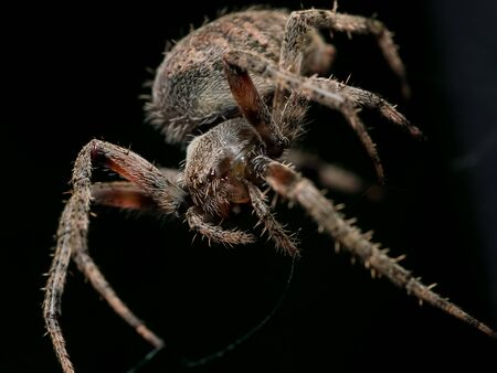 weaving: Brown orb weaving spider with black background Stock Photo