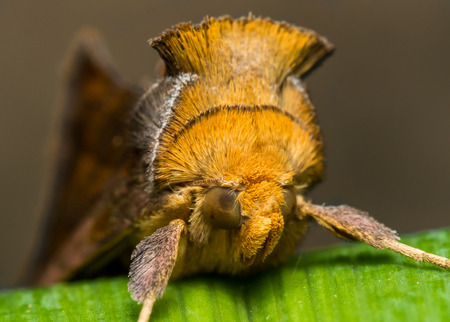 to and fro: Gold Moth with spiky fur on green grass