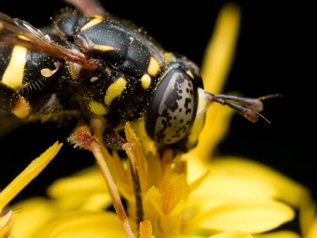 syrphidae: hoverfly with black spotted eyes extracts pollen from yellow flower Stock Photo