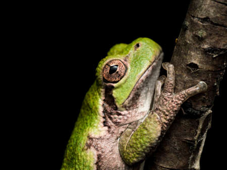green tree frog: Green tree frog clings to tree Stock Photo