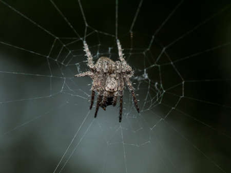 orb weaver: Small Spiky orb weaving spider in web with black background Stock Photo