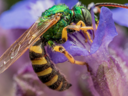 Green metallic sweat bee dives headfirst into purple flower for pollen