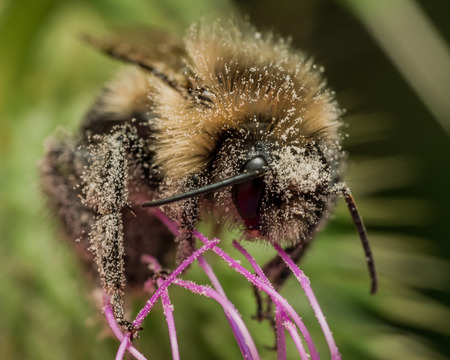 bumble bee: Bumble bee covered in pollen on purple thistle Stock Photo