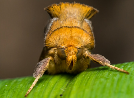 fro: Gold Moth with spiky fur on green grass