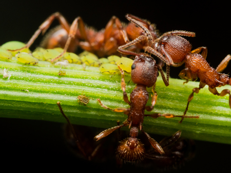 congregate: Ants congregate while herding aphids on plant stem