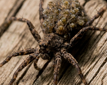 Mother wolf spider caries baby spiders on her back