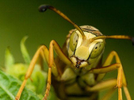 Yellow wasp looks straight on at camera.