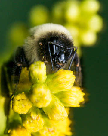 bumble bee with bright golden fur close up portrait Фото со стока