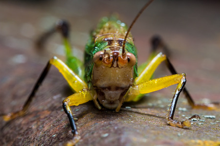 chorthippus: Bright green and yellow grasshopper clings to rusty surface Stock Photo