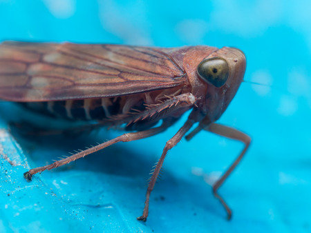 hopper: Brown leaf hopper with green eyes on bright blue surface Stock Photo