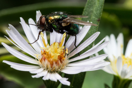 Metallic green fly on white aster Stok Fotoğraf - 47238927