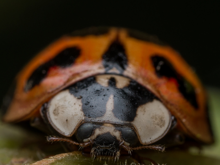 lady beetle: Front view of Asian lady beetle on leaf Stock Photo