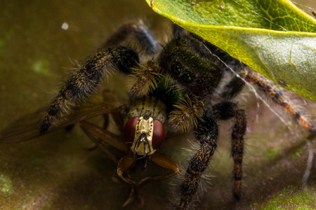 Black jumping spider with shiny green mouth eats fly with red eyes on leaf. 写真素材
