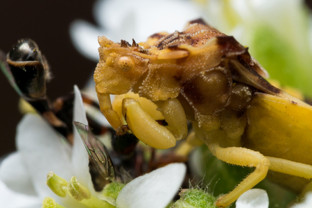 ambush: Ambush bug has caught a bee on an aster flower and is savoring the kill